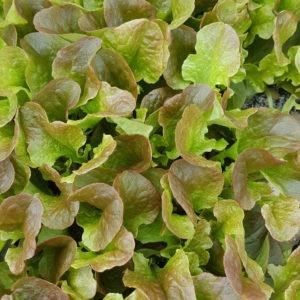 plant feuille de chene rouge au-potager-de-becheret©