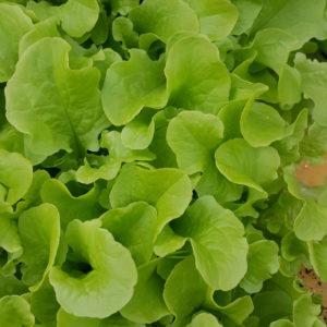 plants de feuille de chene verte au-potager-de-becheret©