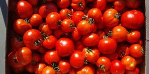 tomates rondes au-potager-de-becheret©
