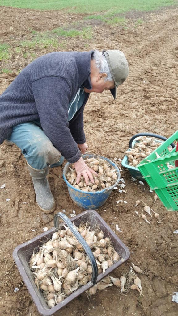 plantation echalote grise 2019 au-potager-de-becheret©