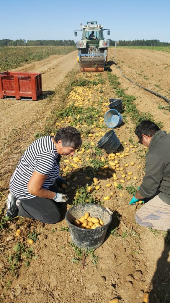 recolte pdt 2019 au-potager-de-becheret.com©